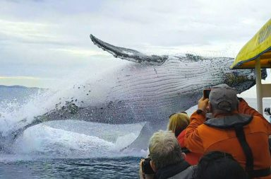Humpback Whales: A Detective Story: Natural World A humpback whale breaches very close to whale-watchers - (C) Viralhog - Photographer: Viralhog