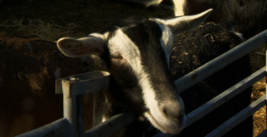 Buy the goats milk soap from Countryfile's Healing Countryside episode!
